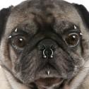 Prohibido los tatuajes y piercings en mascotas